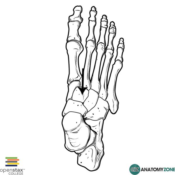 Intermediate Cuneiform • Musculoskeletal, Skeletal