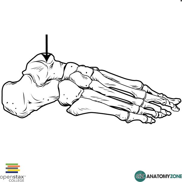 Talus • Musculoskeletal, Skeletal • AnatomyZone