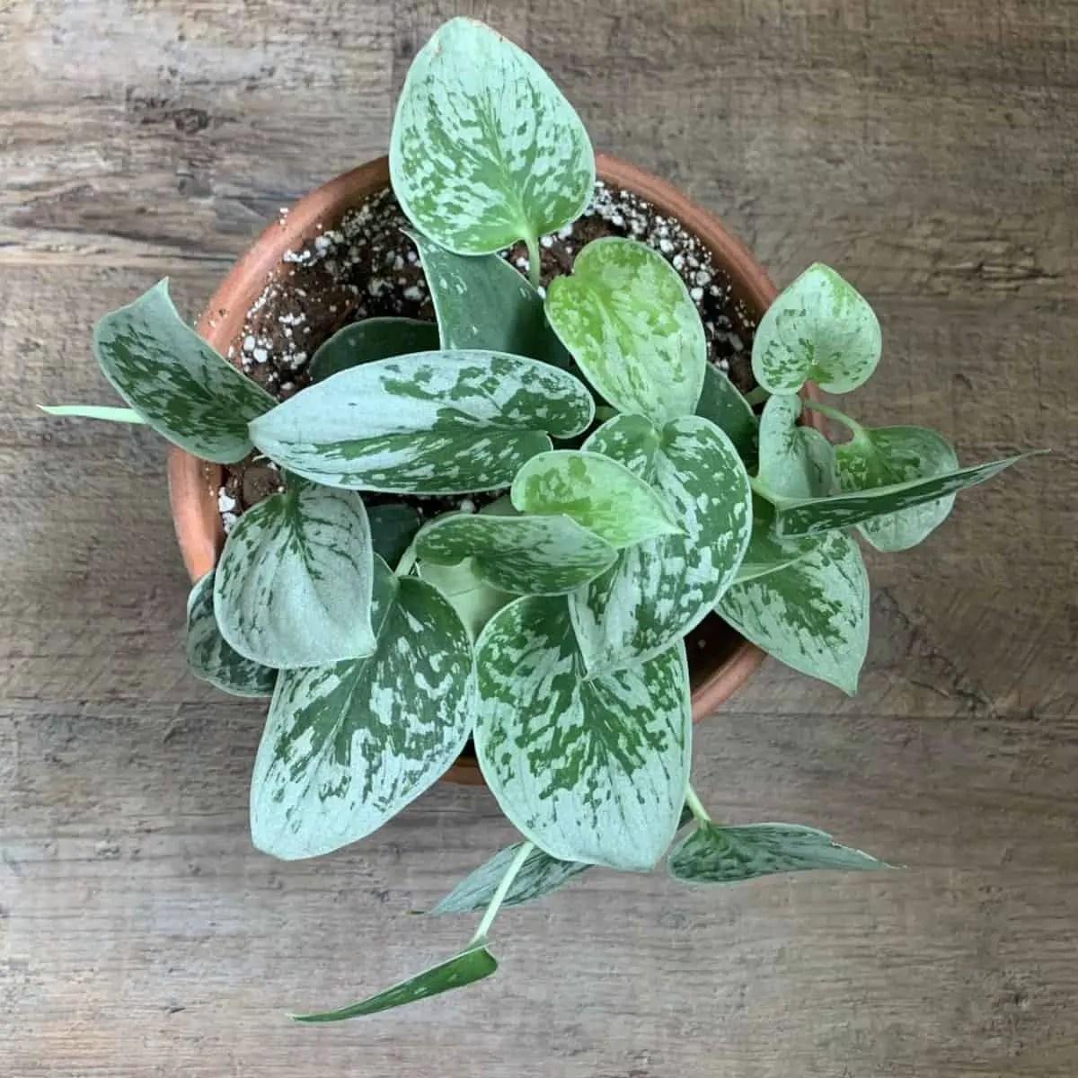 Scindapsus Pictus /'Trebie/' Rare House Plant 1 leaf cutting Satin Pothos