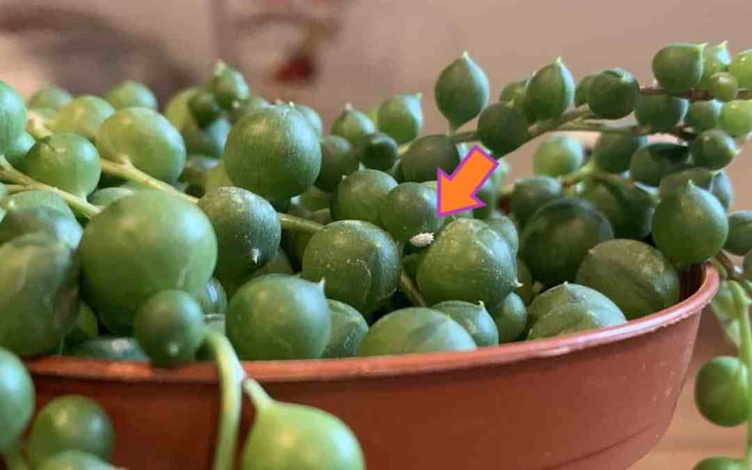 How to Detect and Get Rid of Mealybugs on Houseplants