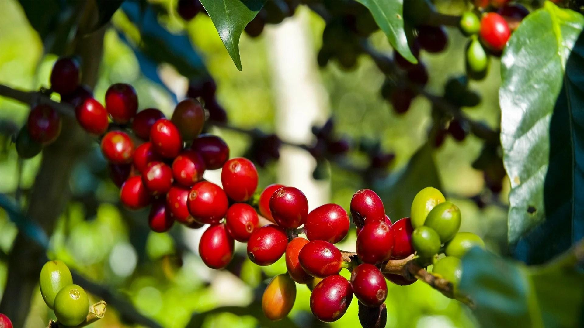 Anbassa-artisan-torrefacteur-arbre-cafe-vert-slider-2-min