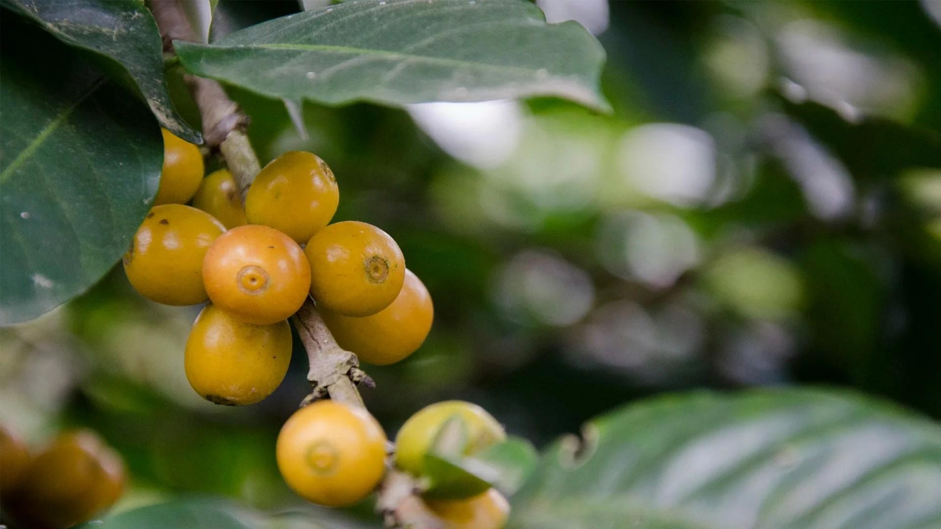 Anbassa-artisan-torrefacteur-arbre-le-cafeier-lhistoire-de-ses-varietes-slide-2-1-min