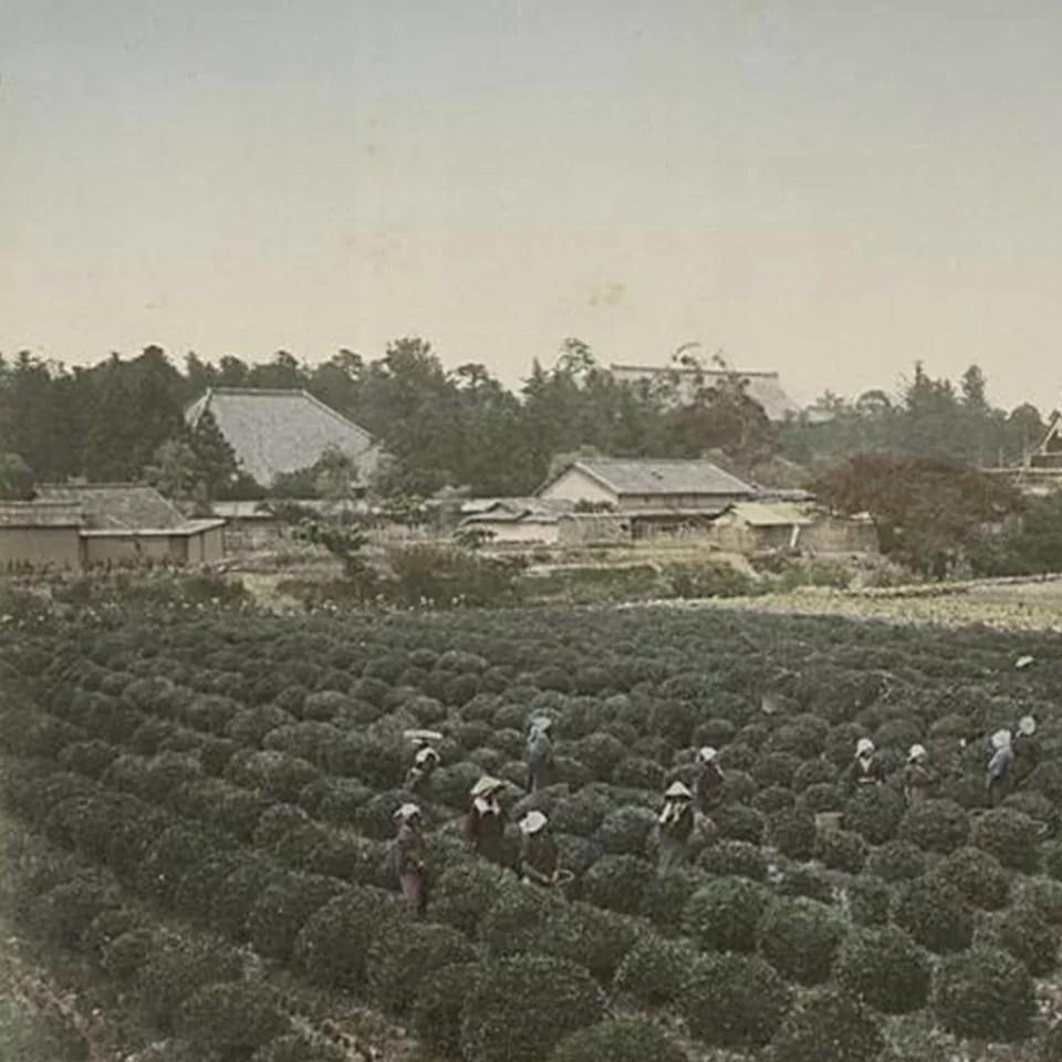 Anbassa-artisan-torrefacteur-breve-histoire-du-the-tea-Tea-Yard-at-Uzi-Yamashiro-min