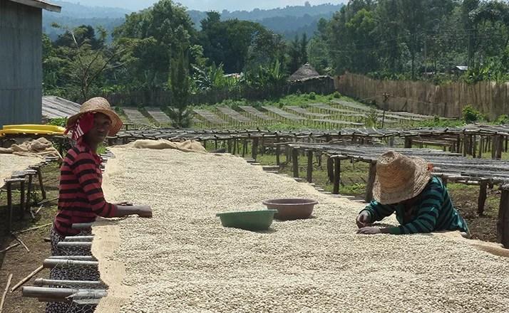Anbassa artisan torrefacteur cafe ethiopie sidama plantation