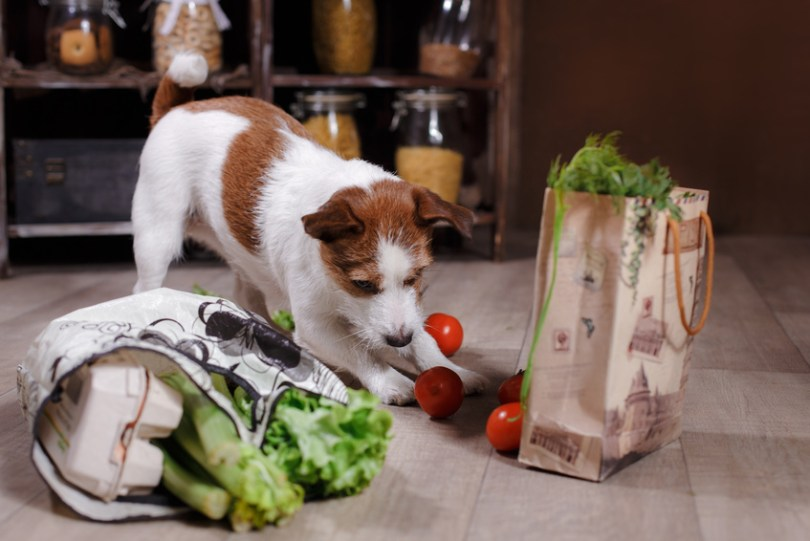 Dog breed Jack Russell Terrier and foods are on the floor in the kitchen