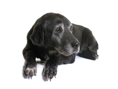 アンベルソ|シニア犬