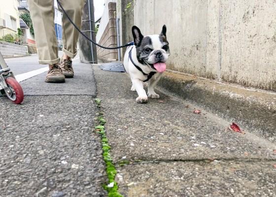 シニア期のお散歩の仕方について|アンベルソ公式ブログ