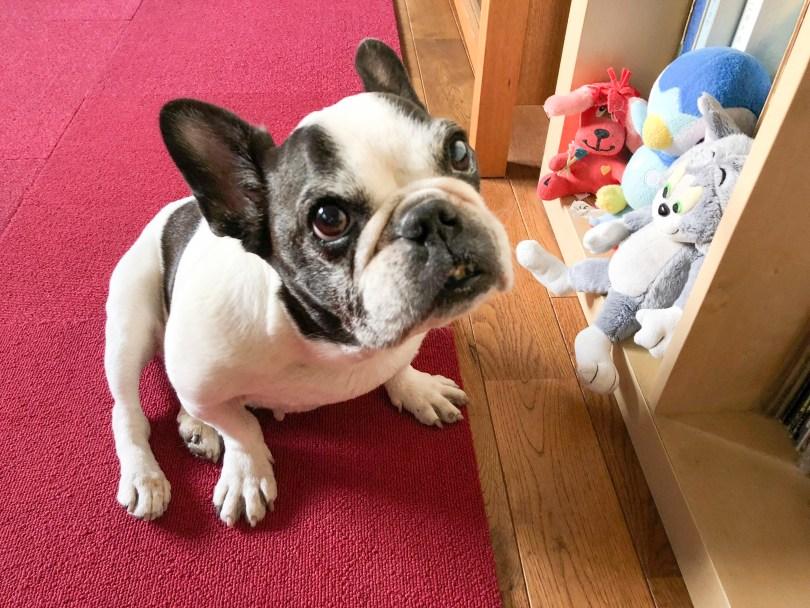 シニア犬の足腰について