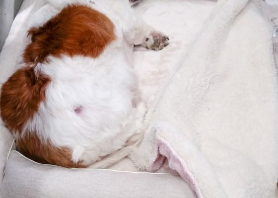 老犬のMダックスのもなちゃん16歳|犬のベッド:アンベルソ
