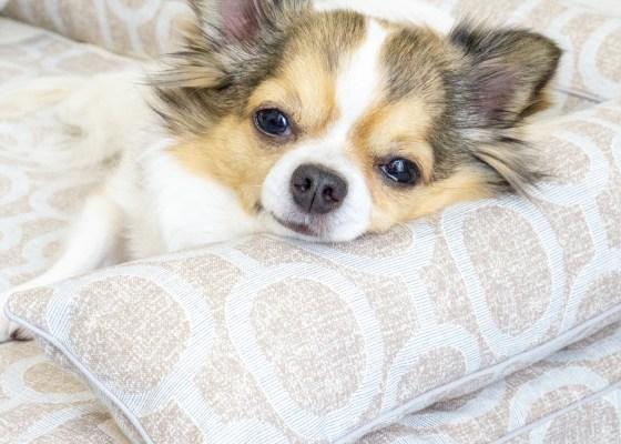 チワワのマロンちゃん|犬のベッド:アンベルソ
