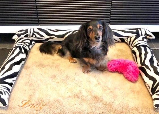 カニンヘンダックスのレディちゃん4歳|犬のベッド:アンベルソ
