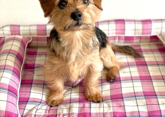 ノーフォークテリアの小次郎くん5歳|犬のベッド:アンベルソ