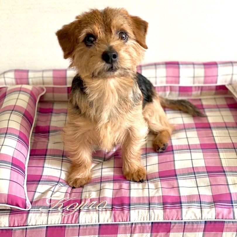 ノーフォークテリアの小次郎くん5歳 犬のベッド:アンベルソ