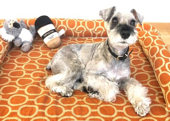 ミニチュアシュナウザーのジョンくん6歳|犬のベッド:アンベルソ