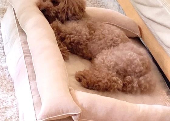 トイプードルのあずきちゃん10歳|犬のベッド:アンベルソ