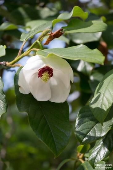 Chinese magnolia-1