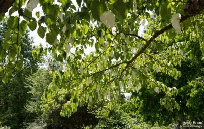 Handkerchief tree-10