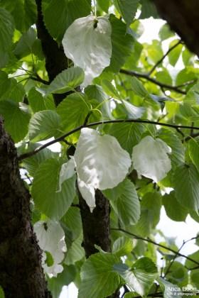 Handkerchief tree-5