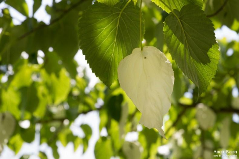Handkerchief tree-9