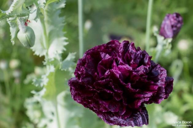 Poppies2-9