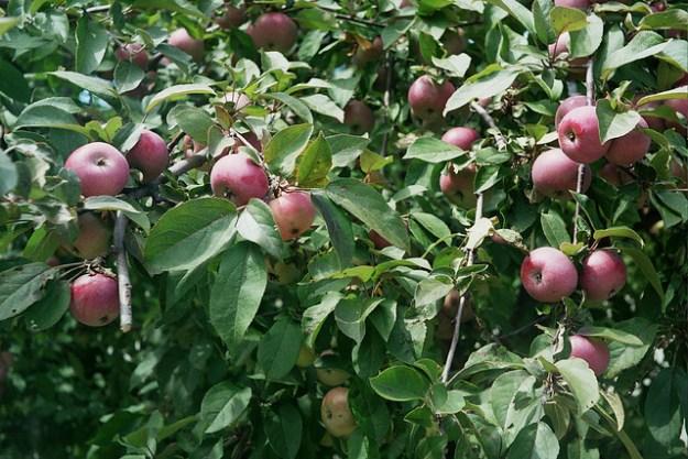 Johnny Appleseed tree?