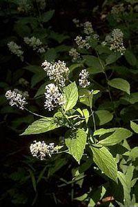 New Jersey Tea herb tea