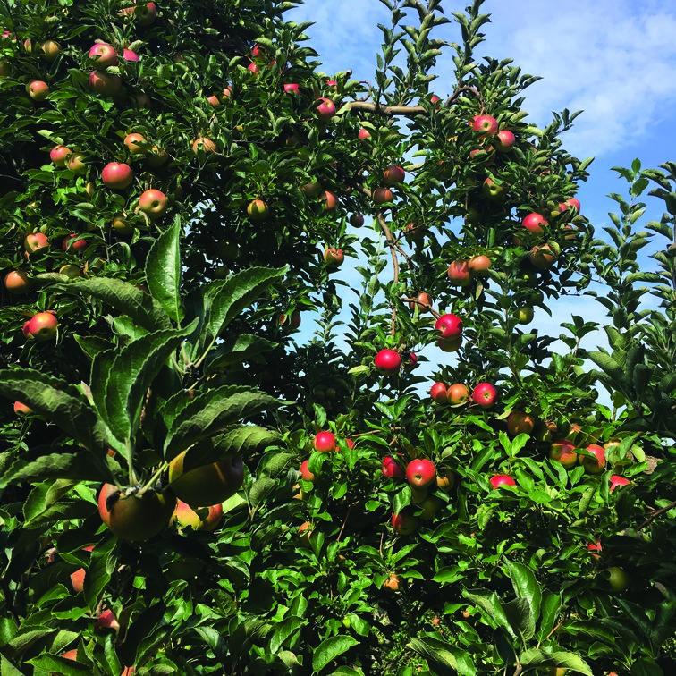 apple2 (2)
