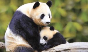 rsz_panda