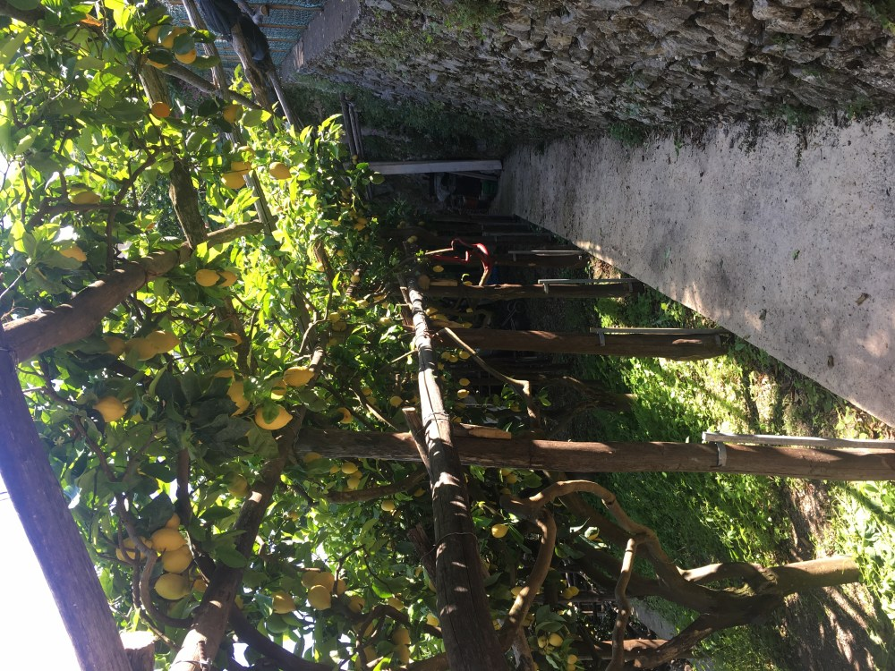 A photo of the lemon groves in Ravello, Italy, during a hike to nearby town, Minori.