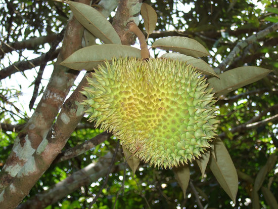 The Durian. Photo Credit: Yuan Hung Dong/Flickr/CC