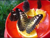 Butterfly-on-orangebygardenhelpinginfo