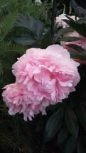 Peony in delicate pink