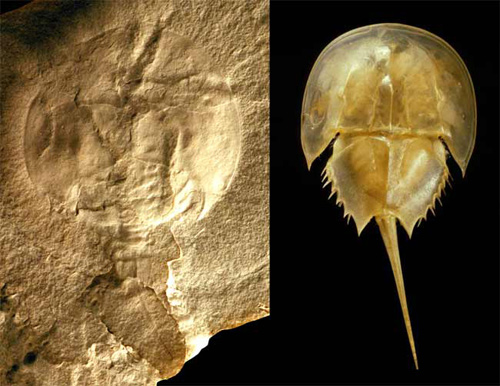 Ordovician horseshoe crab from the Grand Rapids Uplands (L) shows a strong resemblance to a modern horseshoe crab (R).