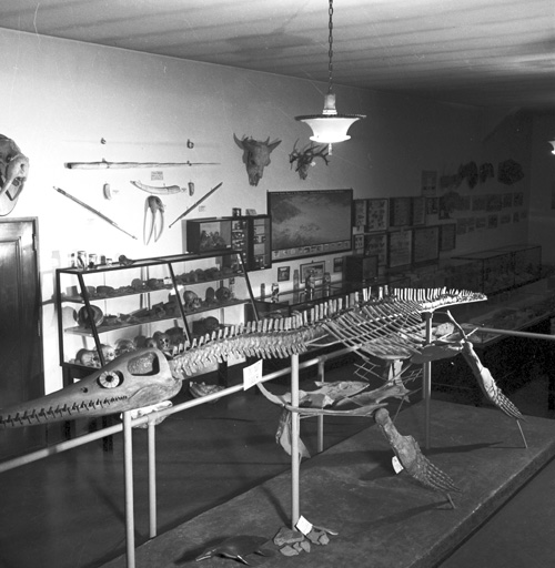 The plesiosaur, as exhibited at the old museum after 1937