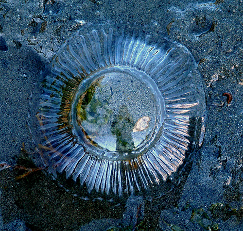 Crystal jelly Aequorea, Pacific coast of Canada (photo: Gavin Hanke)