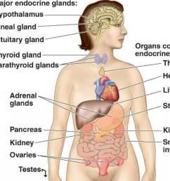 endocrine system02 jpg [ 1024 x 816 Pixel ]