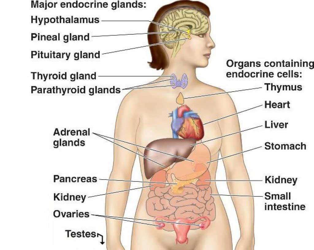 hight resolution of endocrine system02 jpg