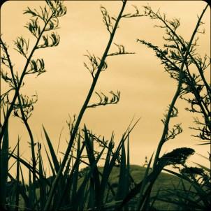 Harakeke/flax on Matiu/Somes Island.
