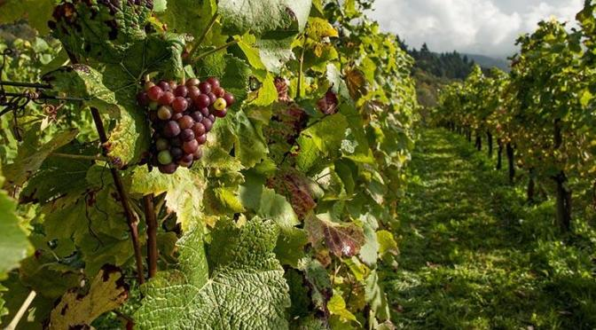 Productores de uva preocupados por falta de pago por parte de algunas bodegas