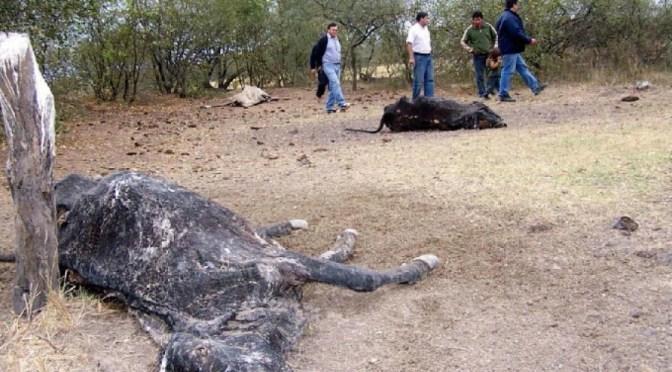 Sequía: Ganaderos del Chaco tarijeño advierten riesgo de muerte de un 30% del hato