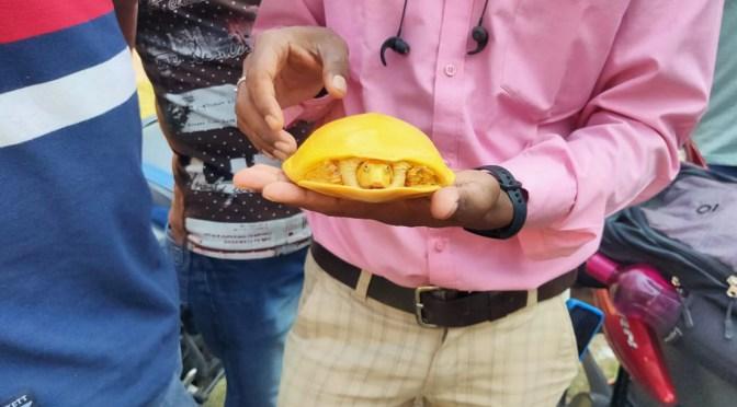 Encuentran en India una rara tortuga amarilla por segunda vez en un año