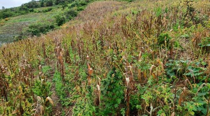 Encuentran plantación de marihuana calculada en una hectárea y media de extensión