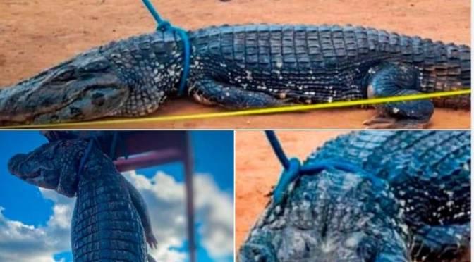 Gobierno anuncia investigación por la muerte de un caimán negro en Magdalena