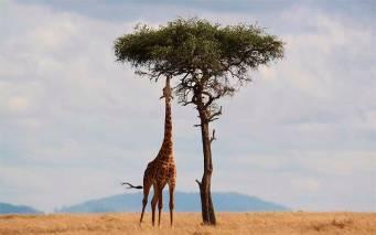diet_giraffes