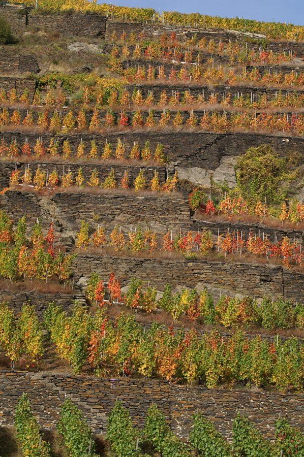 Wandern im Ahrtal im Herbst in den Weinbergen bei Walporzheim