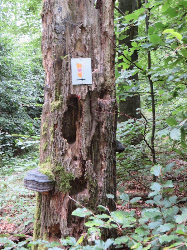 Natur pur – Buchenwald links und rechts des Soonwaldsteigs (Foto: Hans-Joachim Schneider)