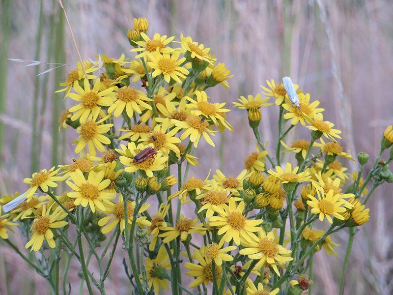 Feldblumen am Fuß der Glessener Höhe (Foto: Hans-Joachim Schneider)