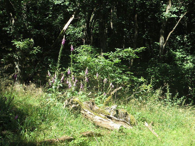 Hier steht ein Bild mit dem Titel: Sommerblüte im Druidenwald (Foto: Hans-Joachim Schneider)
