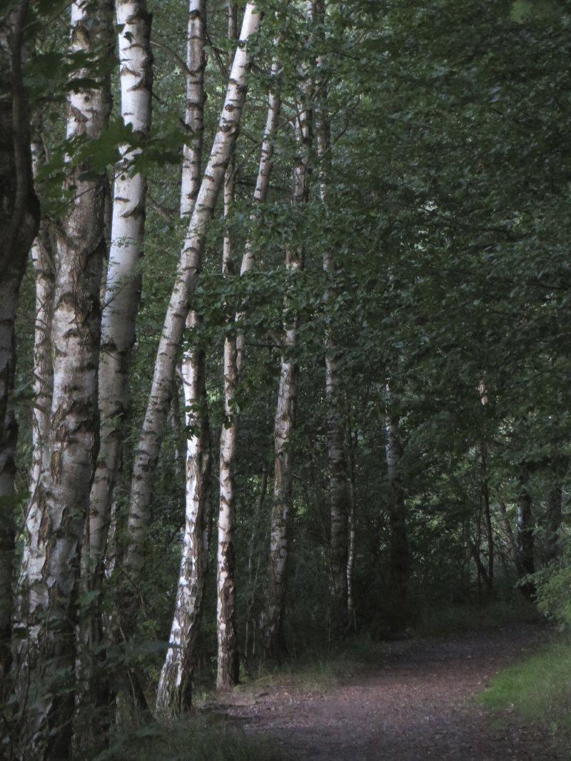 Wald, Birken, Ufer, Dunkelheit, Nacht, Frühaufstehertour