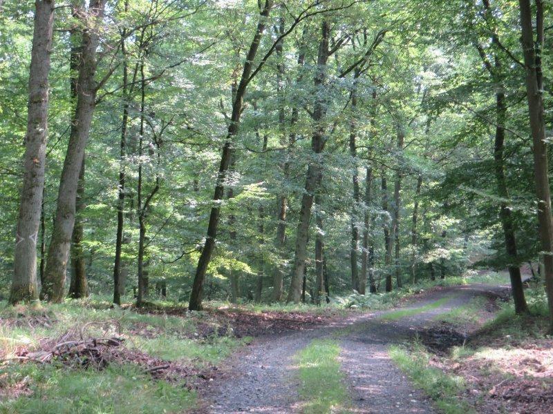 Weg, Pfad, junger Wald:Areale mit mächtigen Buchen wechseln mit jungen Waldabschnitten